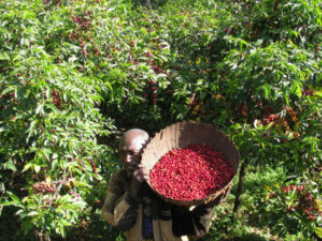 Organic-Certified Coffees from Africa: Benefits, Challenges, Complexities