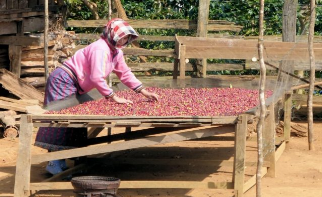How Producers in Laos Are Turning to Specialty Coffee
