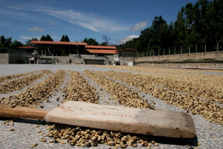 Low Prices and Rising Costs Threaten the Guatemala Coffee Sector