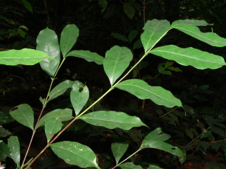 The Lost Coffee Species: The Story of Coffea Stenophylla